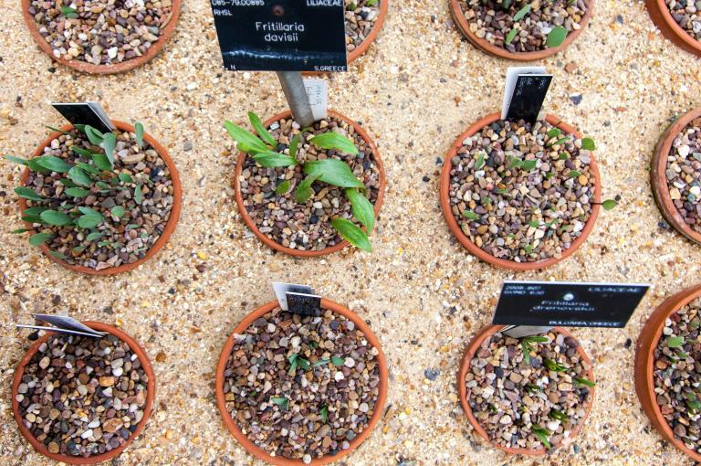 Plants growing in pots in the Alpine Nursery at Kew