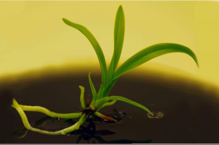 Epidendrum montserratense in vitro seedling.