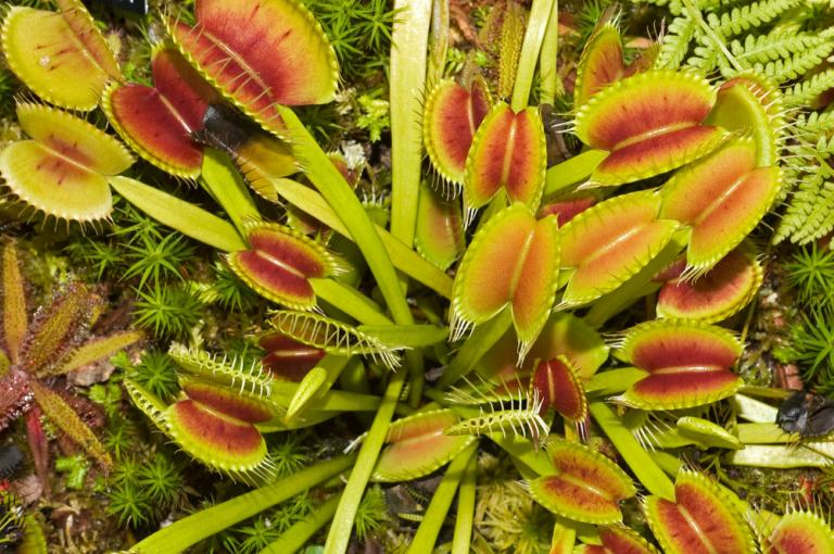 Open traps of the Venus flytrap, seen from above