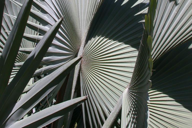 Bismarkia nobilis
