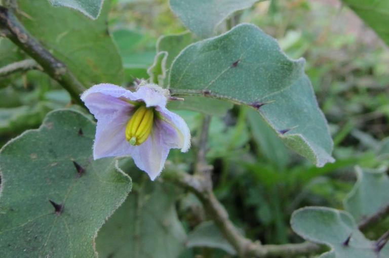 Solanum insanum