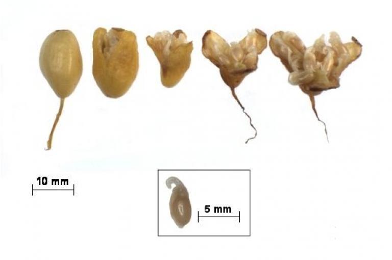 Photo of Galanthus nivalis capsules