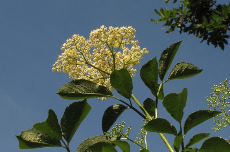 Sambucus nigra inflorescence