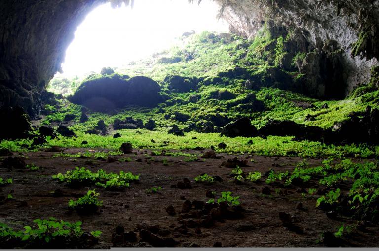Nettles belonging to the genus Elatostema growing in Yangzi cave, China (Image: A. Monro)