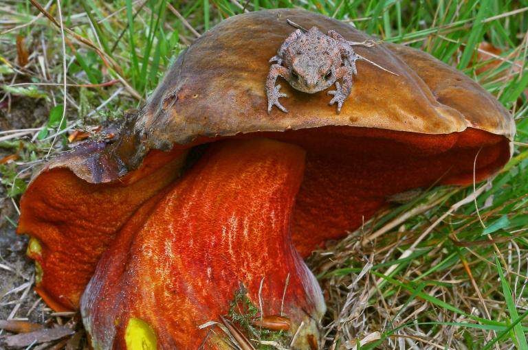 Toad stool: Boletus immutatus is one of the fungi now on the official British Red List (Image: M. Ainsworth)