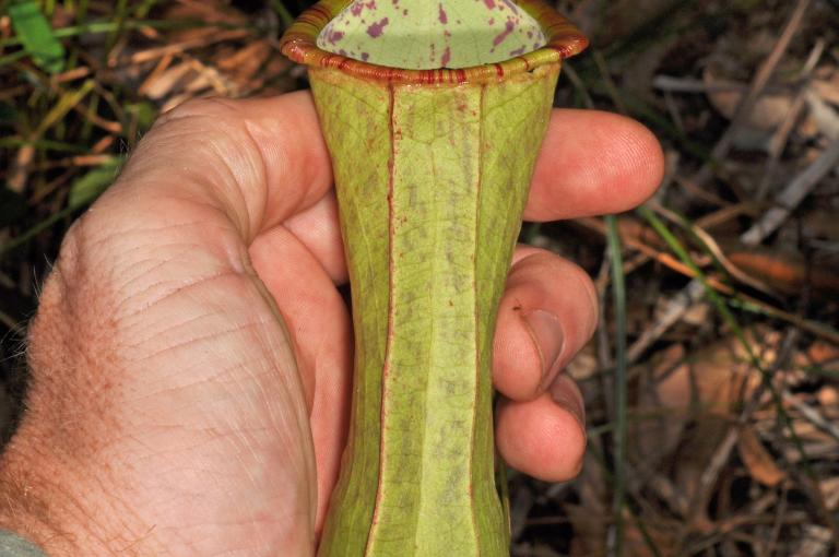 Nepenthes ultra from the Philippines