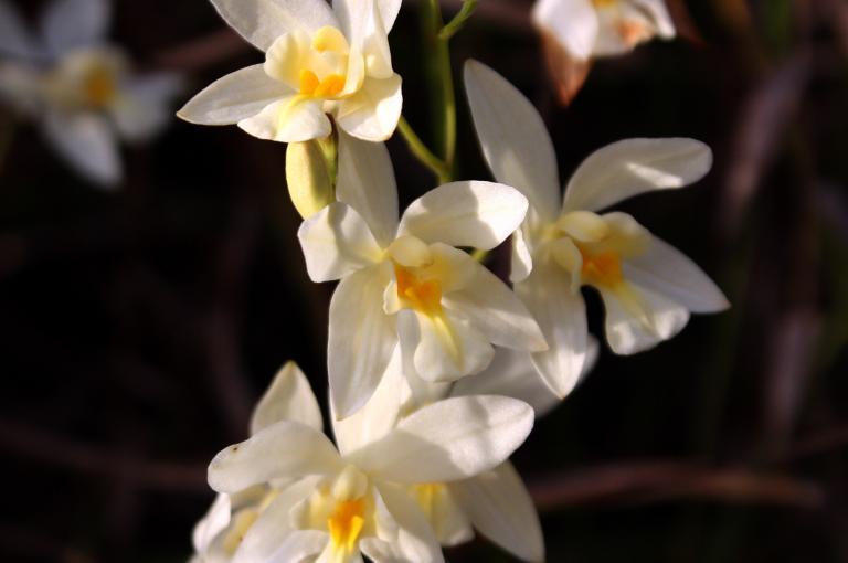 Photo of Spathoglottis eburnea