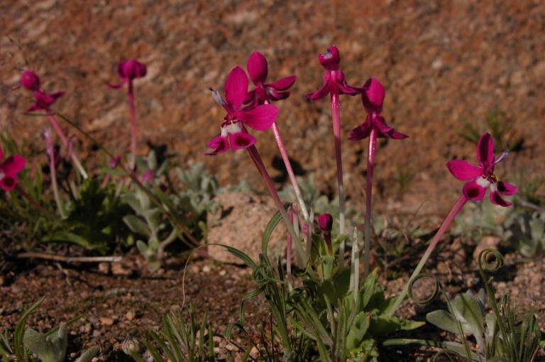 Photo of Lapeirousia silenoides