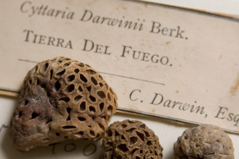 The herbarium includes this fungi specimen collected by Darwin from Tierra Del Fuego.
