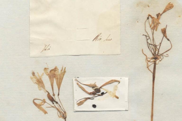 Dried specimen of Caliphruria tenera