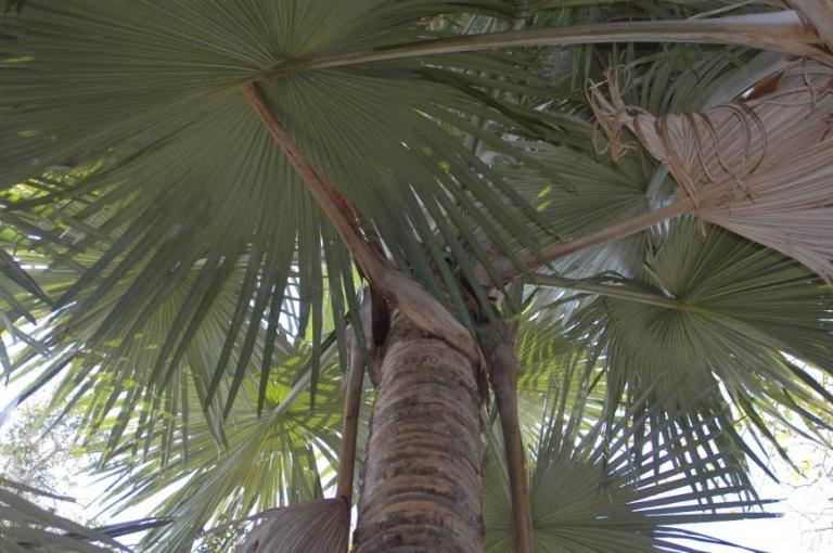 Looking up at the leaves of Tahina spectabilis, a critically endangered species of gigantic palm