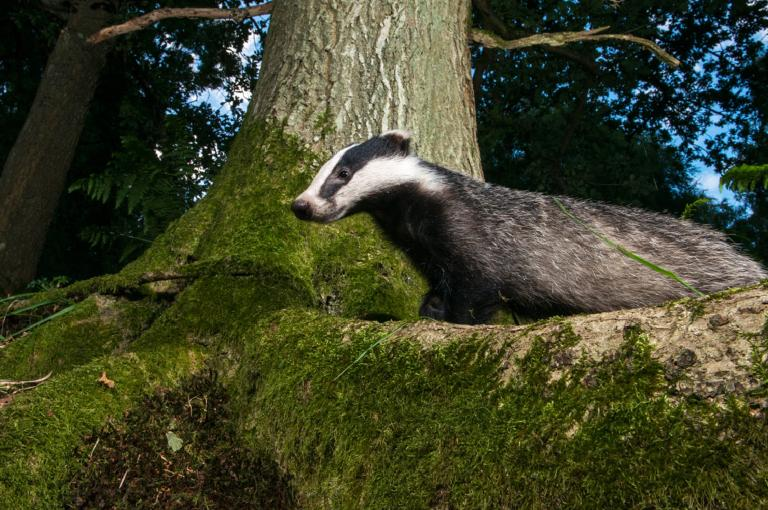 A badger under a tree by James Warwick