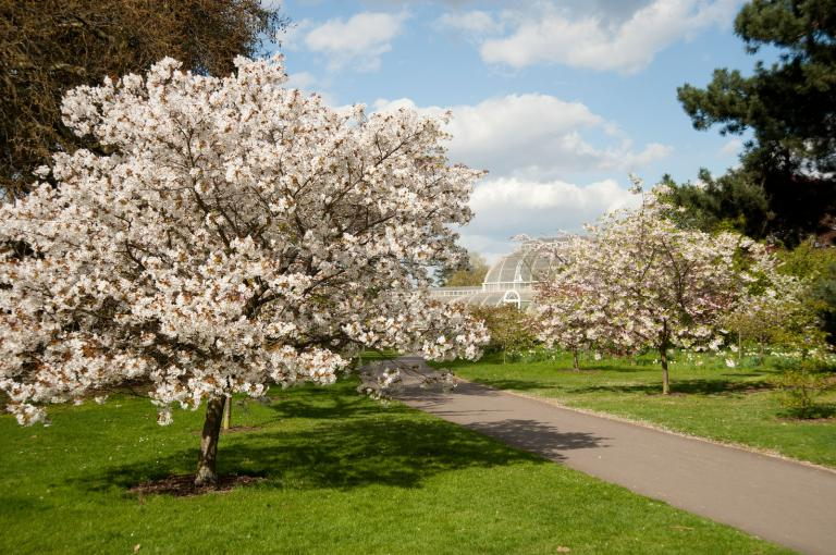 Cherry blossom and the Palm House