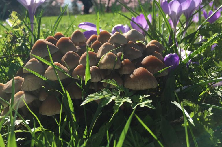 Fungi and crocuses