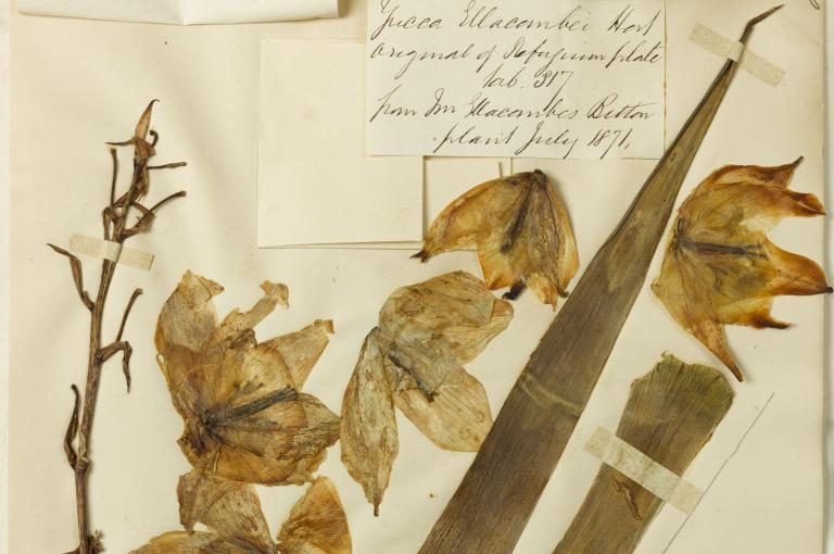 One of Ellacombe's herbarium specimens