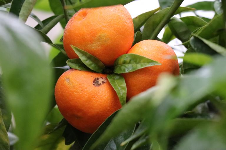Oranges in the Temperate House