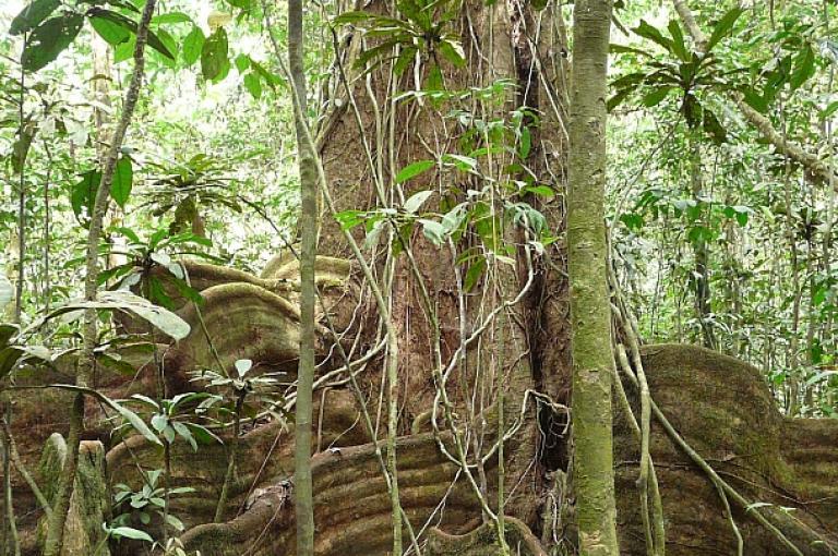Rainforest - tall tree