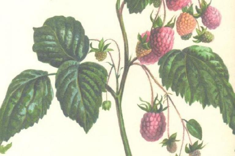 Photograph of botanical illustration of raspberries by Edward Lear