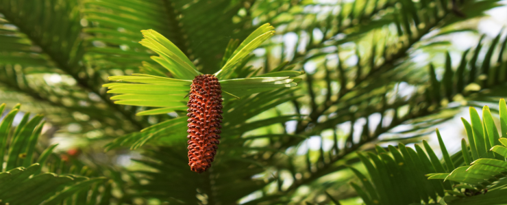Narrow male cone of wollemi pine