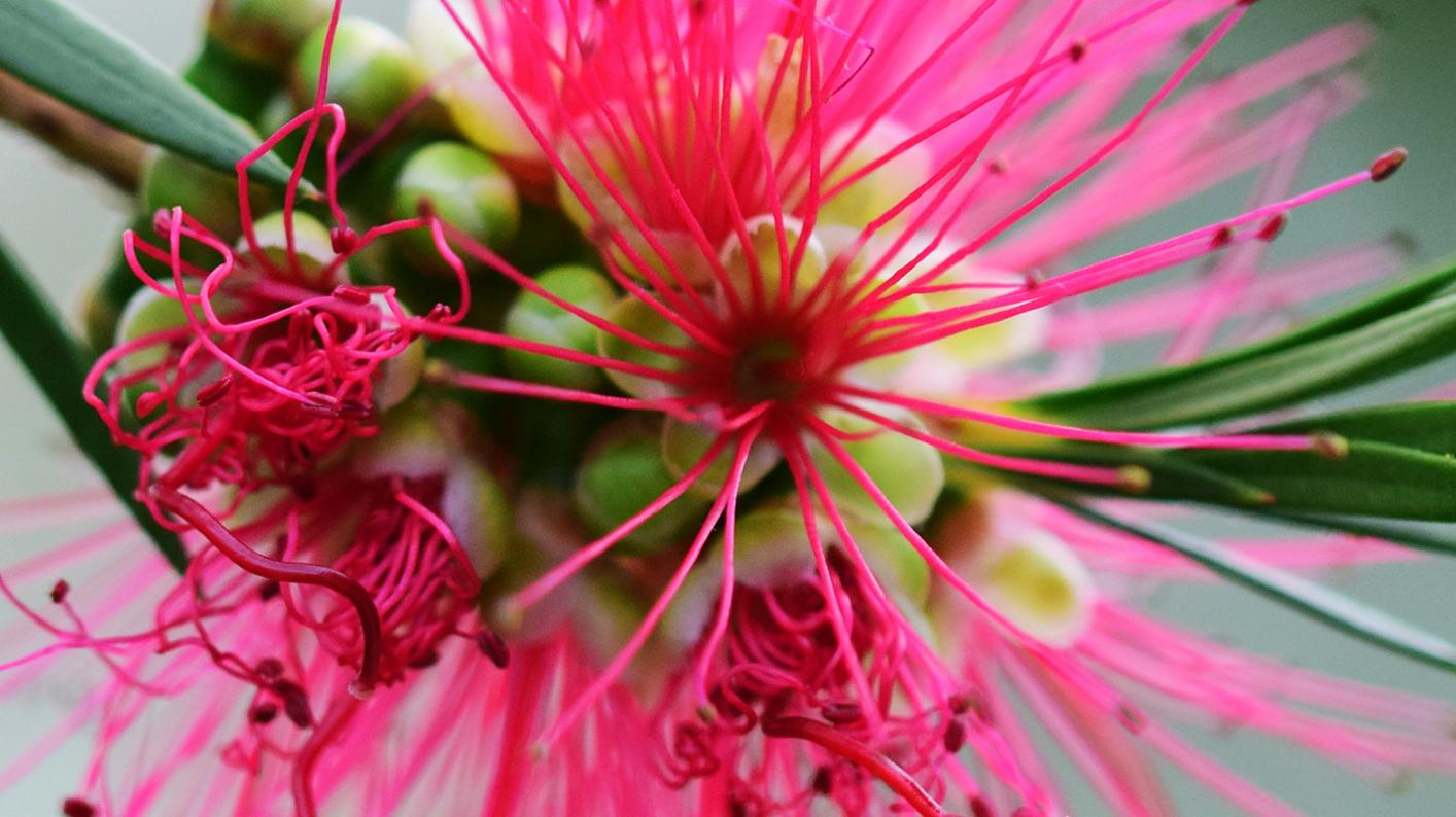 Callistemon citrinus,  the bottlebrush plant