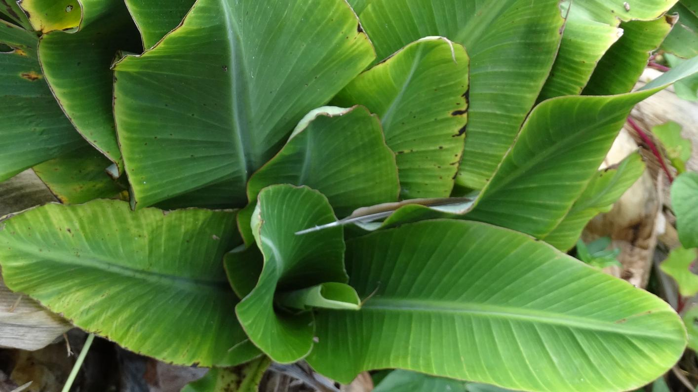 Close up of banana leaves that are bunched together