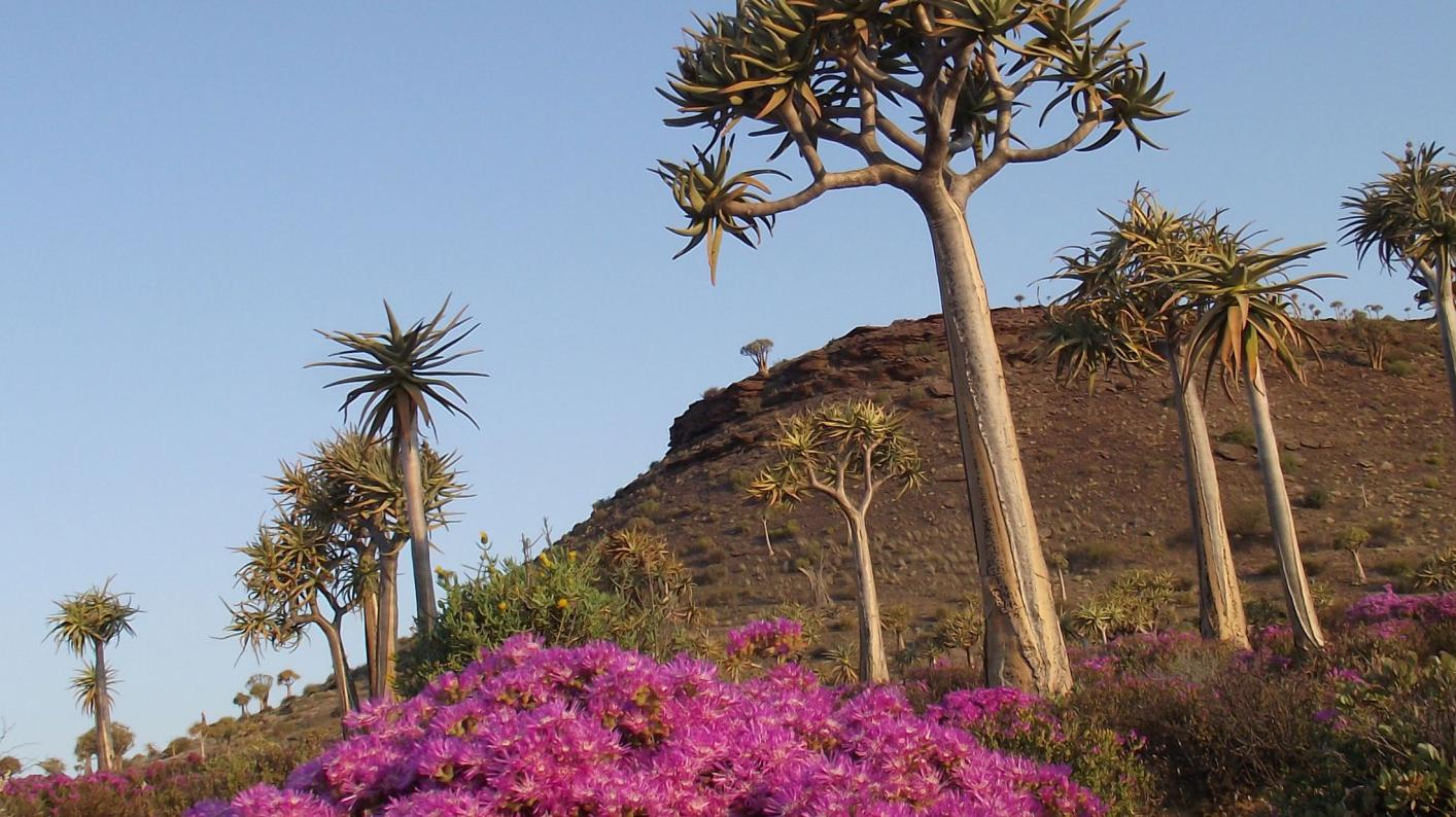South African trees surrounded by pink flowers