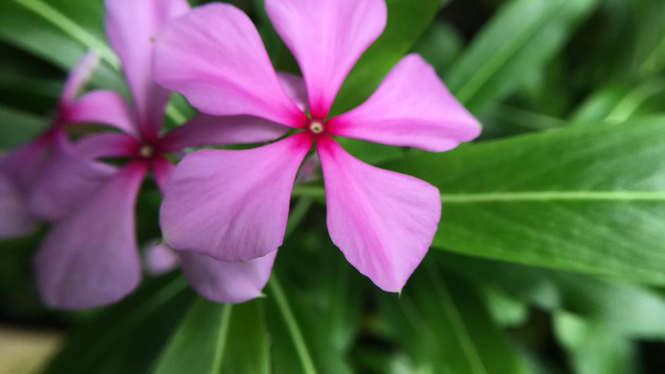 Madagascar Periwinkle, Catharanthus roseus in the Palm House