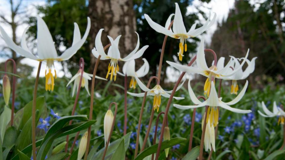 Giant white fawn lily in the Woodland Garden