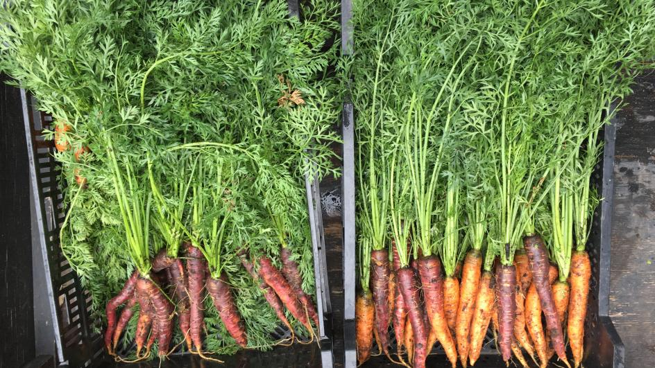 Carrots fresh out of the dirt