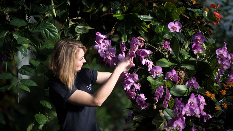 A staff member arranges orchids at the orchid festival