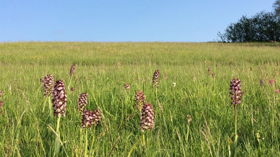 Lady orchids in a field south of France