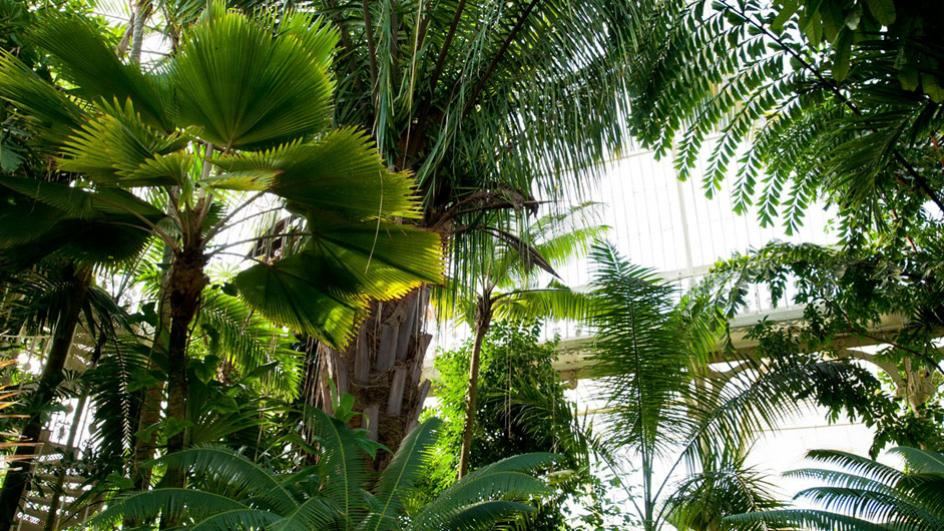 Palm trees in the glasshouse