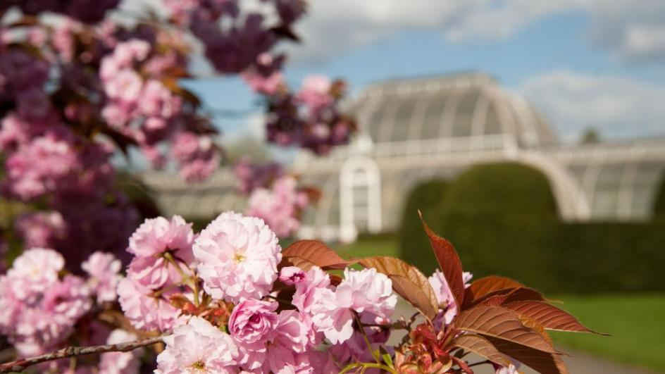 A cherry tree blossoming by the Palm House