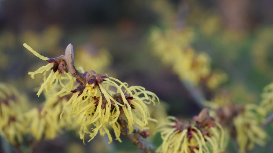 Witch Hazel growing at Kew
