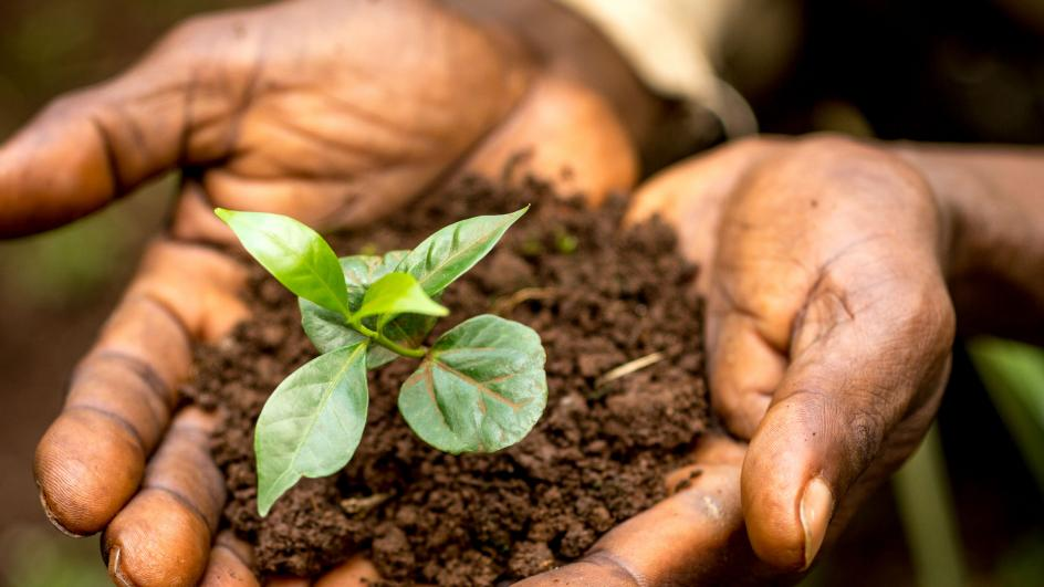 Hands holding soil and small coffee plant