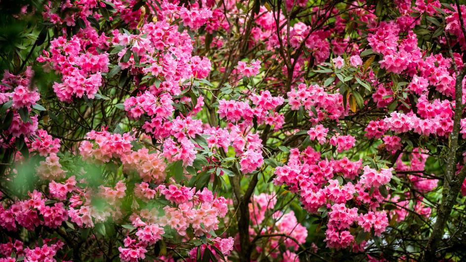 Rhododendrons at Wakehurst
