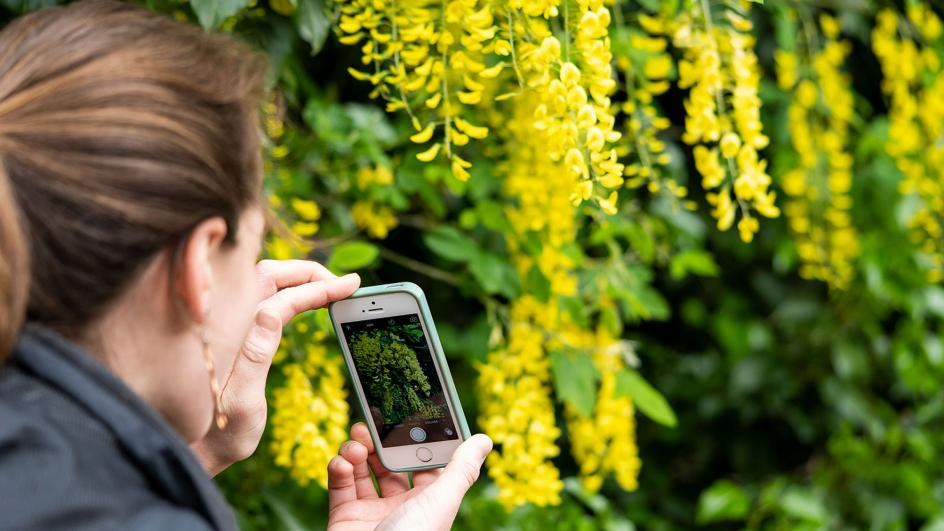 Woman taking photo of yellow plant using a phone