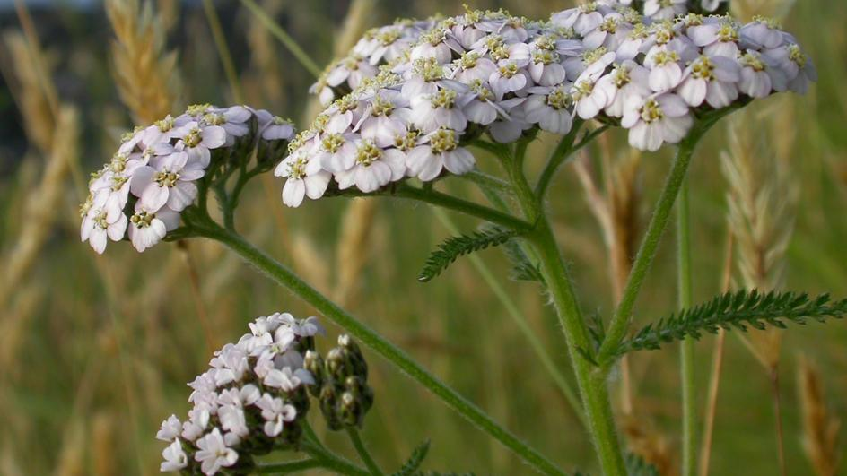 Close up of Yarrow white flowers