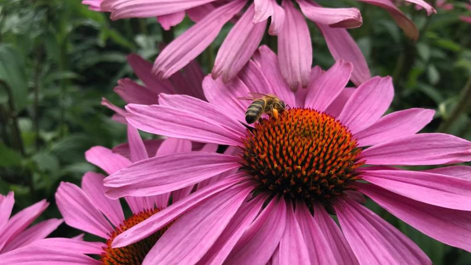 A bee on Echinacea purpurea