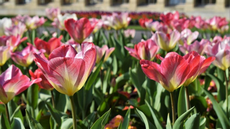 Tulips at the Nash Conservatory
