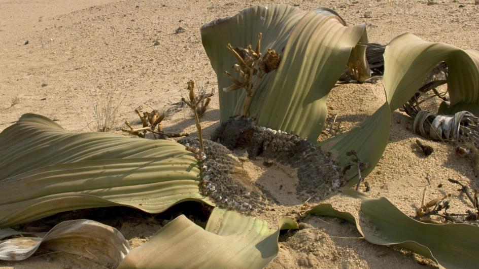 Distinctive Welwitschia plant in the desert with long dry strap like leaves