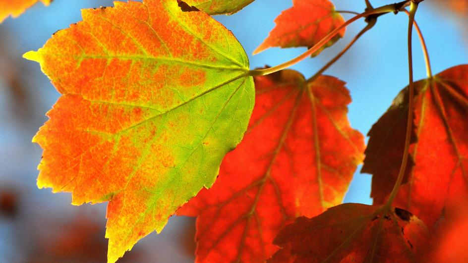 Close up of the autumnal leaves of red maple (Acer rubrum)