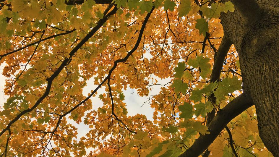 'Norway maple', Acer platanoides