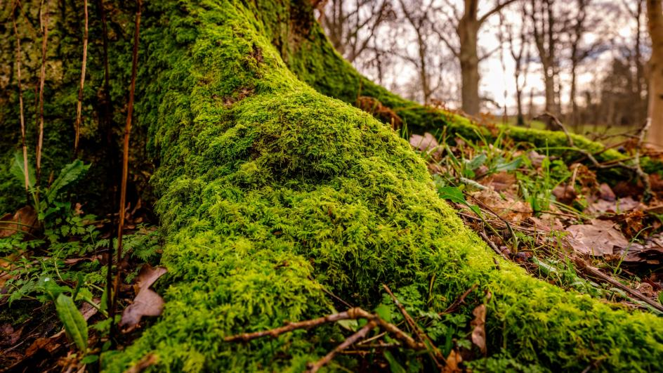 Close up of moss on tree roots at Wakehurst
