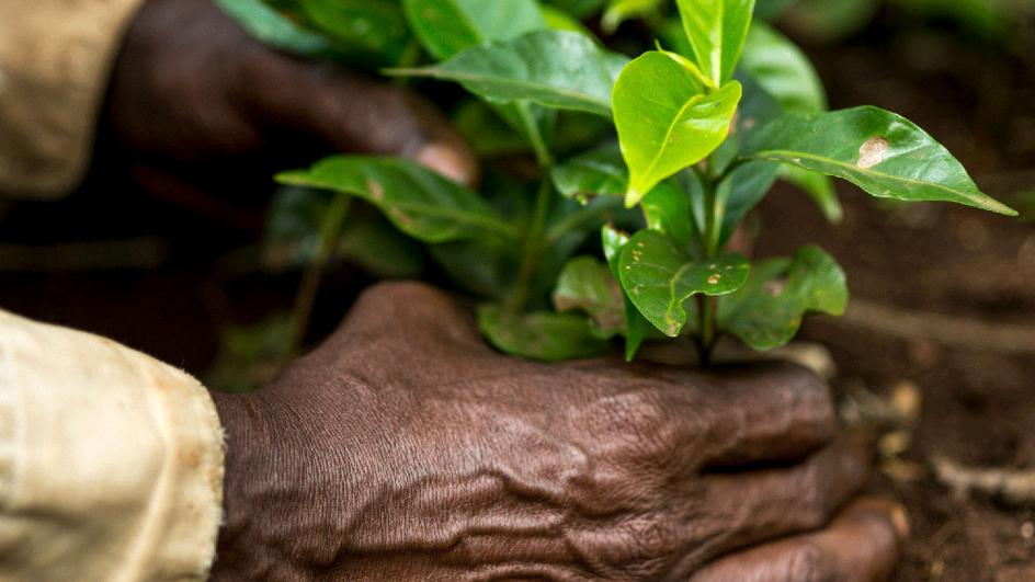 Hands holding coffee plant saplings