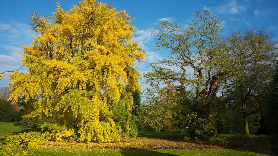 Full maidenhair tree with yellow leaves in autumn