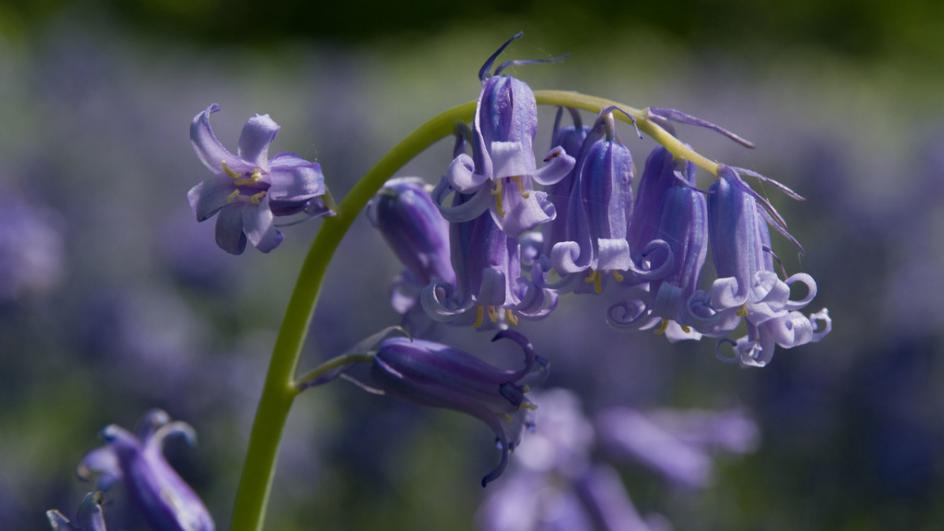 Bluebell at Kew