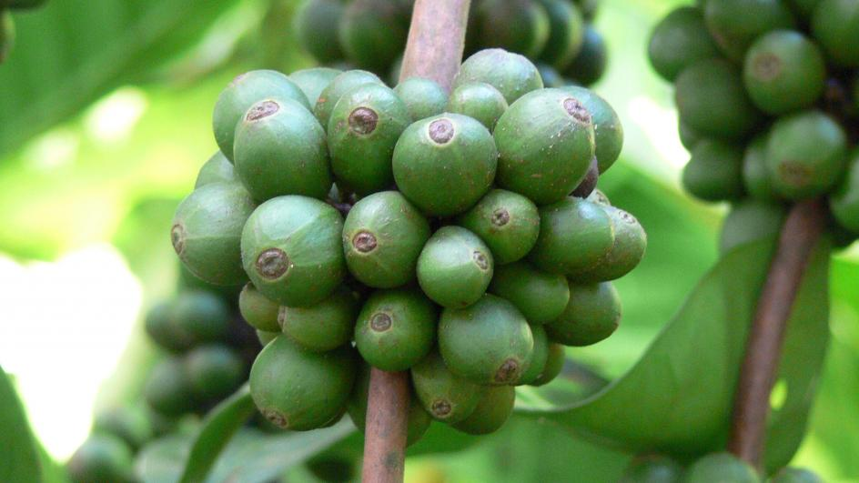 Green coffee fruit on a branch