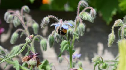 Borage, a herb also known as 'starflower'