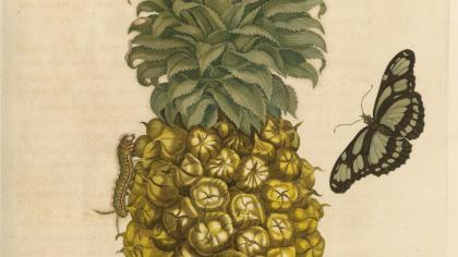 Etching of Bromelia ananas by Maria Sibylla Merian
